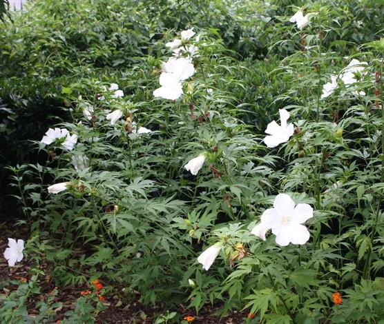 White Texas Star, Lone Star Perennial Hibiscus, White Swamp Hibiscus, Swamp Hibiscus