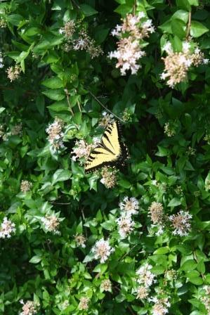 Chinese Abelia Butterfly Nectar Sources Almost Eden