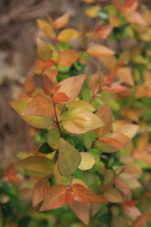 Canyon Creek Abelia Butterfly Nectar Sources Almost Eden