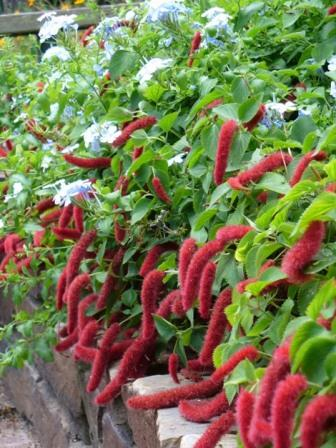 Trailing Chenille Plant Strawberry Firetails Red Hot Cats Tail