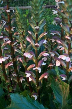 Bear's Breeches, Grecian Pattern Plant