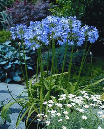 Blue Heaven Lily of the Nile, Agapanthus (Repeat Flowering)