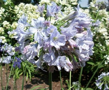 Summer Skies Lily Of The Nile Agapanthus Cold Hardy Repeat