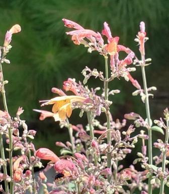 Coronado® Red Hummingbird Mint, Jewel of the Sierra Madre, Agastache,