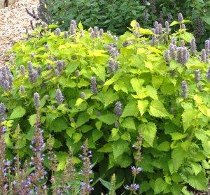 Golden Jubilee Giant Purple Hyssop, Agastache