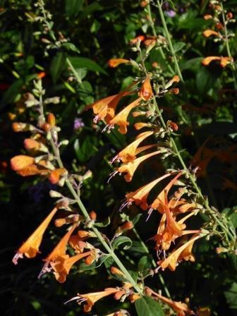 Tango Hummingbird Mint, Agastache, Mexican Hyssop