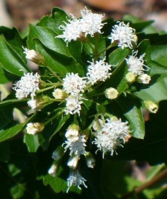 Fragrant White Mistflower, Shrubby White Mistflower, Shrubby Boneset, Havana Snakeroot