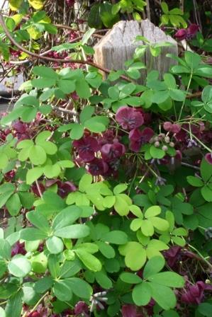 Purple Five-leaf Akebia, Chocolate Vine