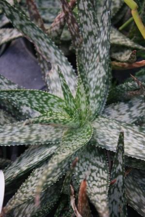Snowflake Aloe