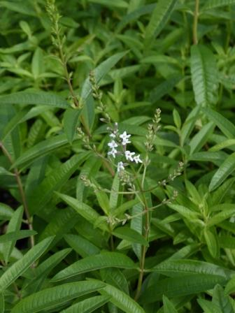 Lemon Verbena, Lemon Beebrush