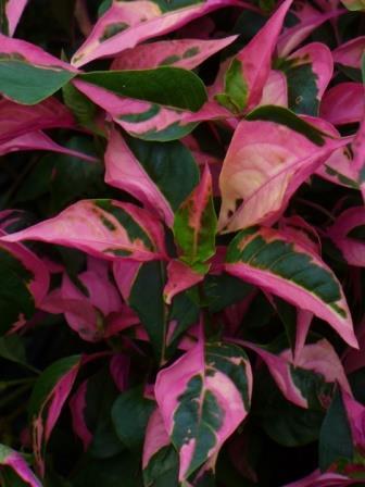 Party Time Alternanthera, Joseph's Coat, Parrot Leaf