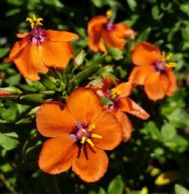 Wildcat™ Mandarin Pimpernel, Blue Pimpernel, Garden Pimpernel, Flaxleaf Pimpernel