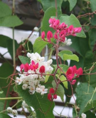 Baja Red Rose of Montana, Coral Vine
