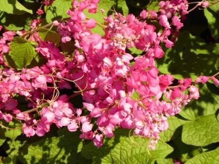 Pink Rose of Montana, Coral Vine