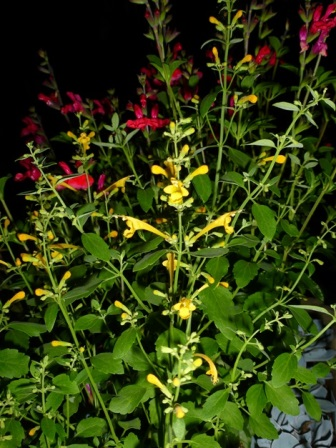 Arizona™ Sun Agastache, Hummingbird Mint, Mexican Hyssop