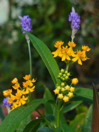 Silky Yellow Butterfly Weed, Blood Flower, Indian Root, Swallow-wort, Mexican Butterflyweed