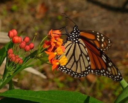 Mexican Butterfly Weed (Orange) , Blood Flower, Indian Root, Swallow-wort