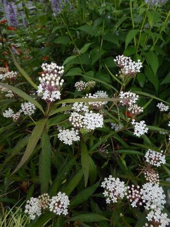 White Milkweed, Aquatic Milkweed