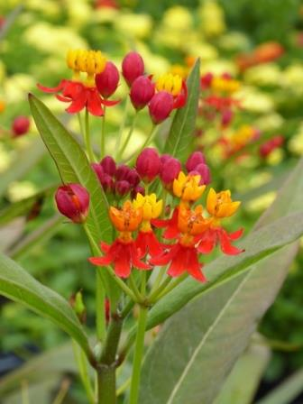Silky Red Butterfly Weed, Mexican Butterflyweed