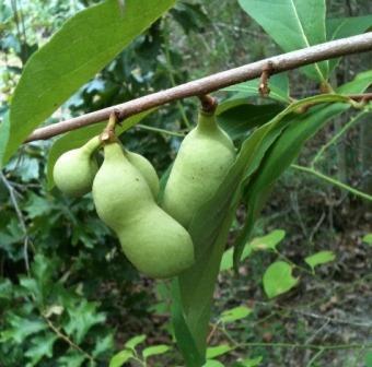 Dwarf Pawpaw, Small-Flower Pawpaw, Small-Fruited Pawpaw, Small Custard-Apple, Custard-Banana