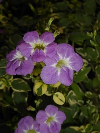 St. John Variegated Ganges Primrose, Chinese Violet, Creeping Foxglove