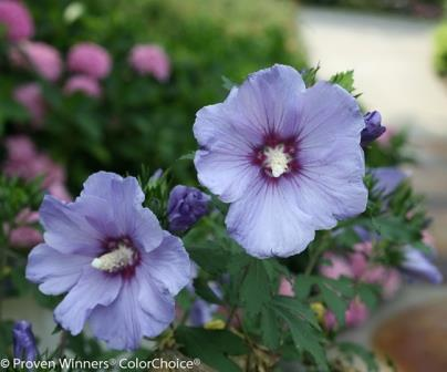 Azurri Blue Satin® Althea, Rose of Sharon