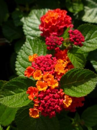 Bandana Red Lantana Perennials Almost Eden