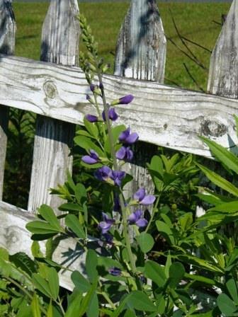 Blue Wild Indigo, Blue False Indigo, Baptisia