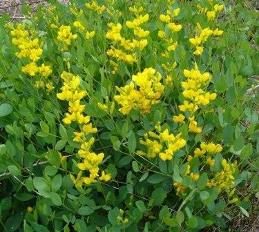 Yellow Wild Indigo, Yellow False Indigo, Baptisia