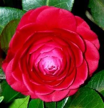 Black Tie Camellia