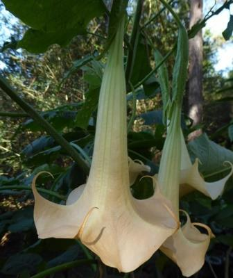 Amber Rose Angel's Trumpet, Wedding Bells