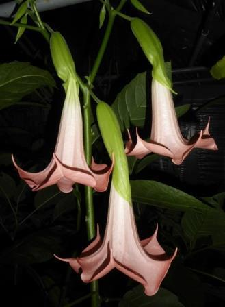 Cherub Angel's Trumpet, Wedding Bells
