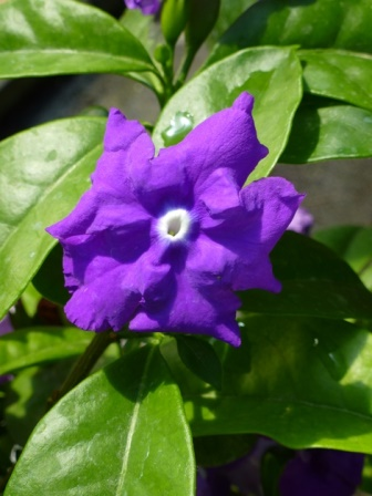 Magnificent Brunfelsia or Magnificent Yesterday, Today, and Tomorrow