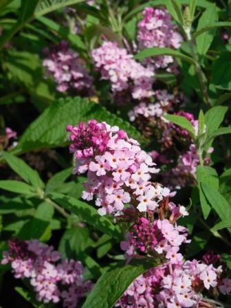 Buzz™ Soft Pink Butterfly Bush, Buddleia