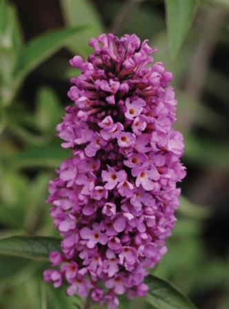 Flutterby Petite® Tutti Frutti Butterfly Bush, Buddleia