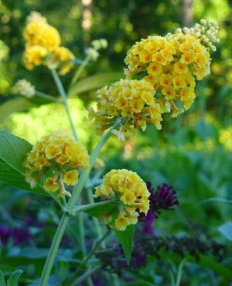Honeycomb Yellow Butterfly Bush, Buddleja