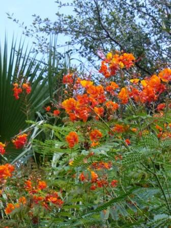 Pride of Barbados, Mexican Red Bird of Paradise, Dwarf Poinciana, Peacock Flower, Flamboyan-de-Jardin, Barbados Fenceflower