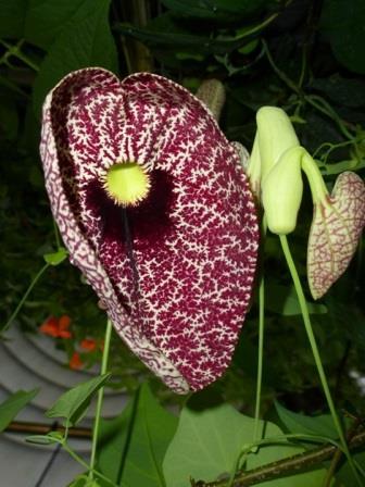 Calico Flower, Elegant Dutchman's Pipevine, Pelican Flower, Aristolochia