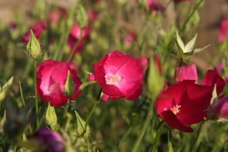 Winecups, Woodland Poppy Mallow, Callirhoe papaver