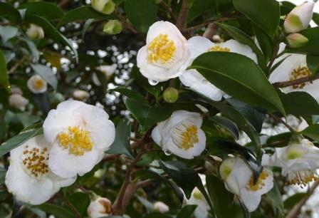 Fragrant Fairies Sasanqua Camellia