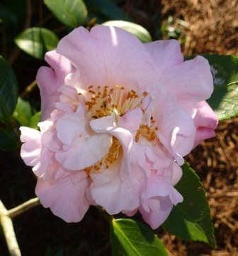 High Fragrance Camellia