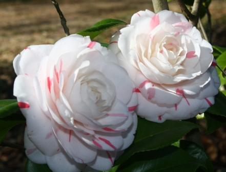 La Peppermint Camellia
