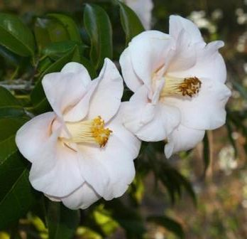 Magnoliaeflora Camellia, Hagoromo Camellia