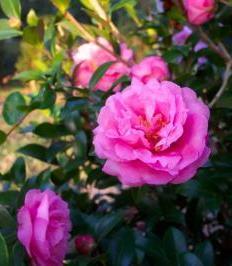Aglaia Sasanqua Camellia