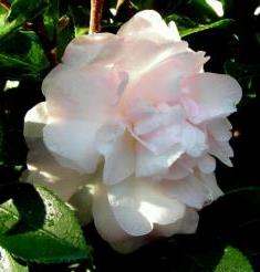 October Magic® Dawn Sasanqua Camellia