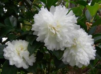 October Magic Ivory Sasanqua Camellia Shrubs Trees All