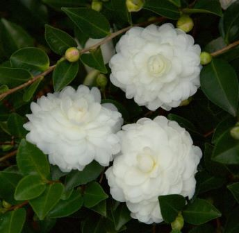 October Magic® White Shi-Shi Gashira Sasanqua Camellia