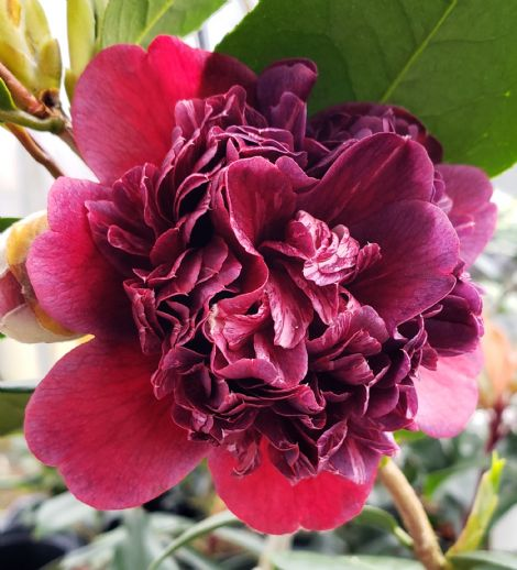Sawada's Mahogany Camellia