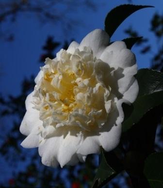 Shiro Chan Camellia
