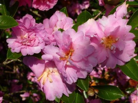 Showa-No-Sakae Sasanqua Camellia